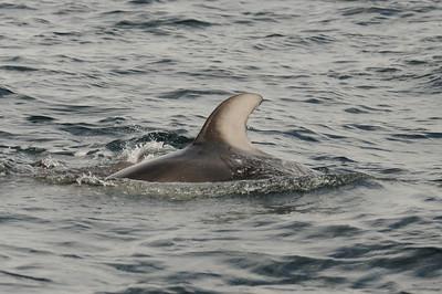 DSC_6264 - Note distinct nick near top of dorsal = dolphin#2.