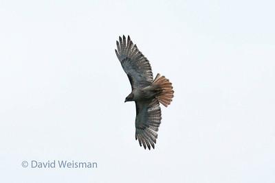 Redtail Hawk 0353