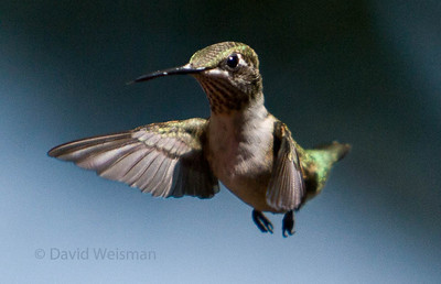 Hummingbird 8962