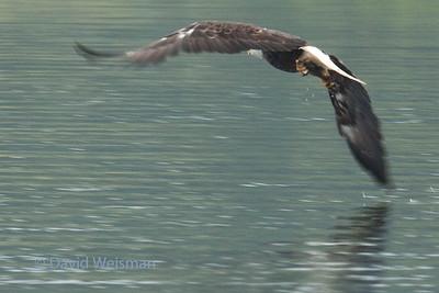 Eagle 0135
