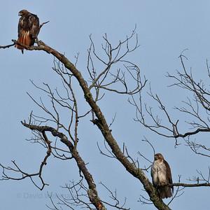 Redtail Hawks 0040