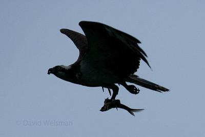 Osprey with Fish 0188