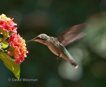 Hummingbird 3751