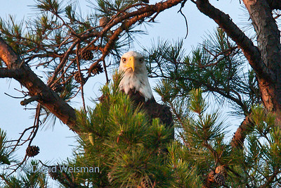 Bald Eagle 385  Paige's suggest caption: What are YOU looking at?