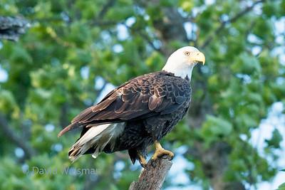 Bald Eagle 9888