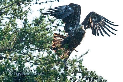 Young Bald Eagle 0259