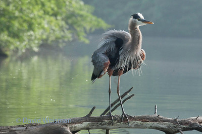 Great Blue Heron 0106