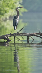Great Blue Heron 0094