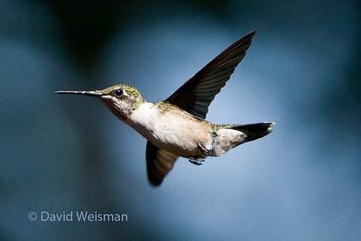 Hummingbird 8923