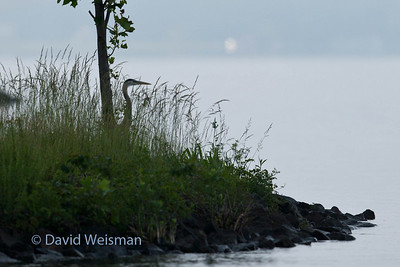 Great Blue Heron 0066