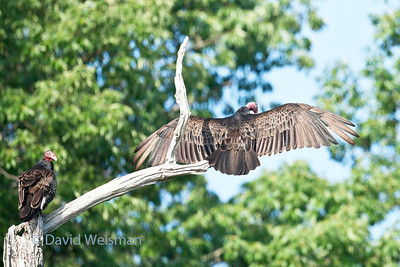 Turkey Vultures 0283