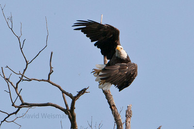 Bald Eagle 7648