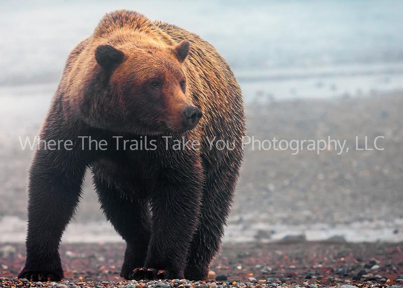Bear in the Morning Mist