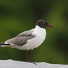 Laughing Gull on the bridge rail