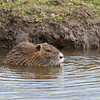 Nutria munching on a stick.
