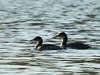 Red-necked Grebes,<br /> Lake Shenandoah, 2-6-14