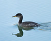 Red-necked Grebe, one of two<br /> Lake Shenandoah, 2-6-14