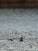 RIver Otter<br /> 12-10-09