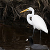 Great Egret and American Coot
