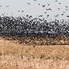 Red Winged Blackbirds and  Grackles.