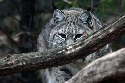 Lakota Wolf Preserve 03-2012