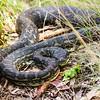 Carpet python, Lamington National Park, Queensland, Australia