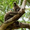 Koala, Lamington National Park, Queensland, Australia