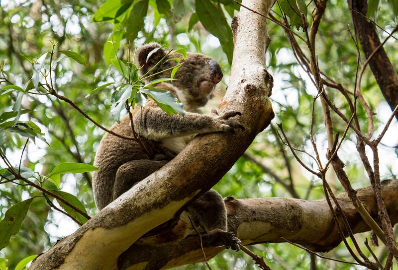 Koala - Lamington National Park, Queensland, Australia