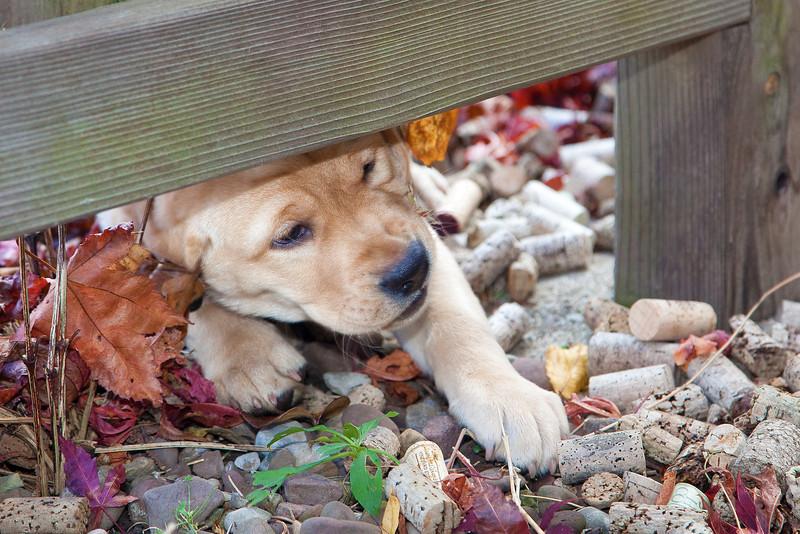 Labrador Retriever Puppy 9 weeks old.