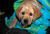 Labrador Retriever Puppy 9 weeks old.