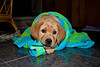 Labrador Retriever Puppy 9 weeks old. Chewing on towels
