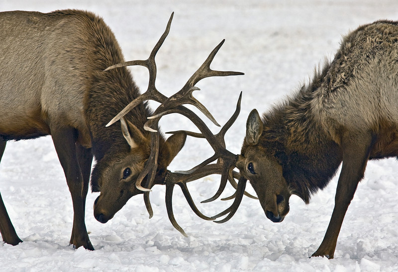 _fighting_elk  Grand Teton's