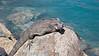 Iguana, St. Thomas