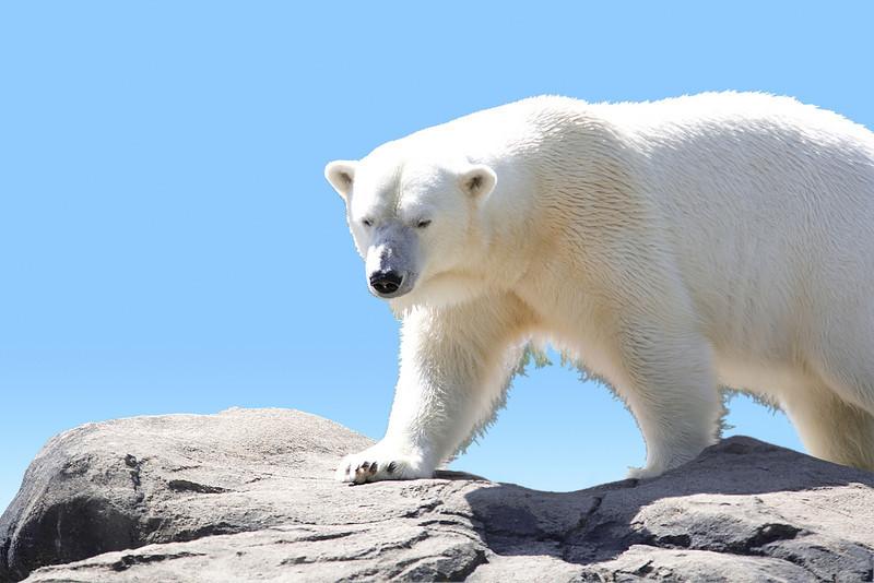 Seneca Park Zoo, Rochester,NY. Polar Bear walking