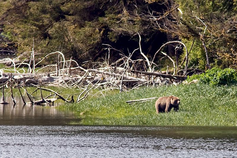 Grizzly brown bear     Alaska;