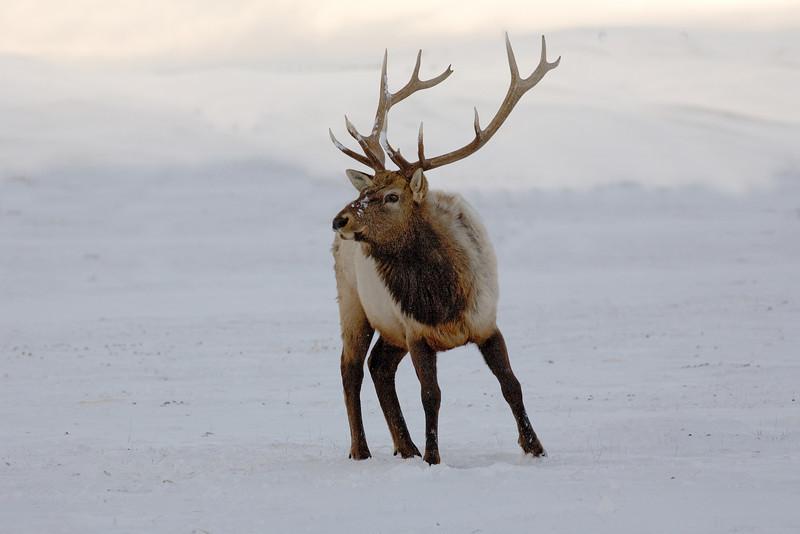 Elk  Grand Teton's