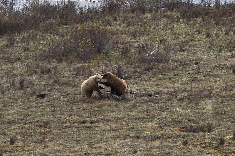 Grizzly Bears  Denali National Park    Alaska;