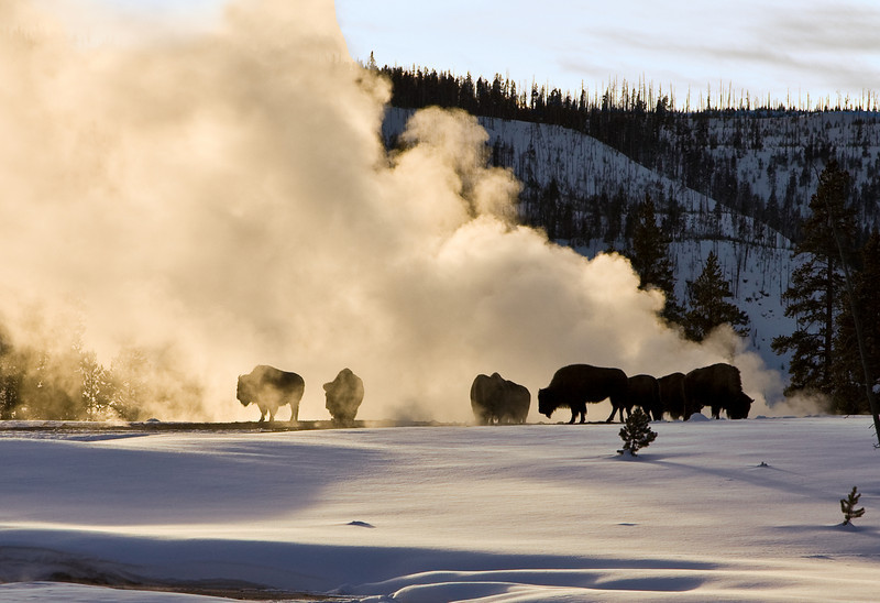 Bison Keep warm by the hot geyser  yellowstone national park
