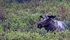 Bull Moose in  Denali National Park    Alaska;