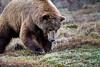 Grizzly Bear in Denali , Denali National Park, Alaska;