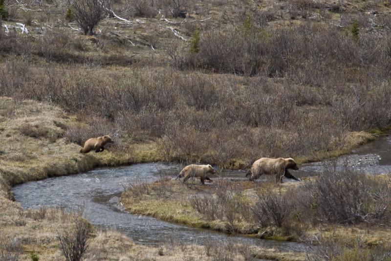 Grizzly bears / cubs Denali National Park    Alaska;