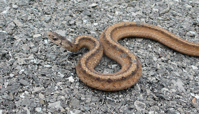 Snake on Erie Canal bike path.