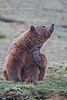Grizzly bear  Denali National Park    Alaska;