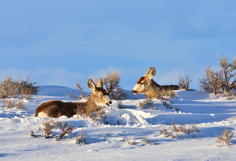 Mule Deer ;  Grand Teton's