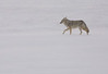 Coyote,  Grand Teton's