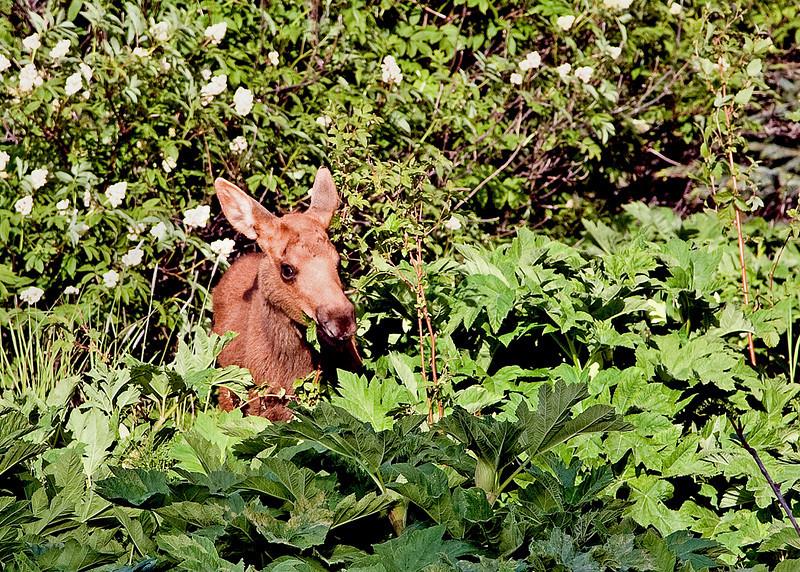 baby Moose along the streets in Homer.     Alaska;