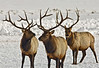 Three Stag Elk  Grand Teton's