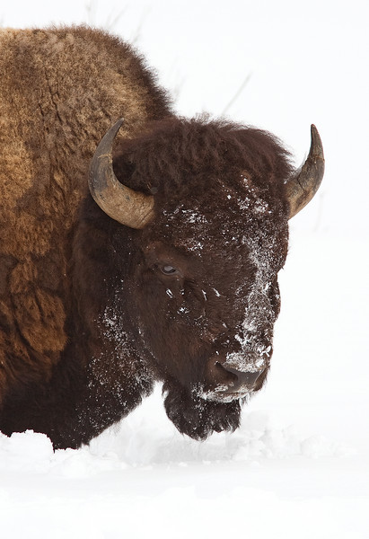 Bison snow face in Yellowstone national park