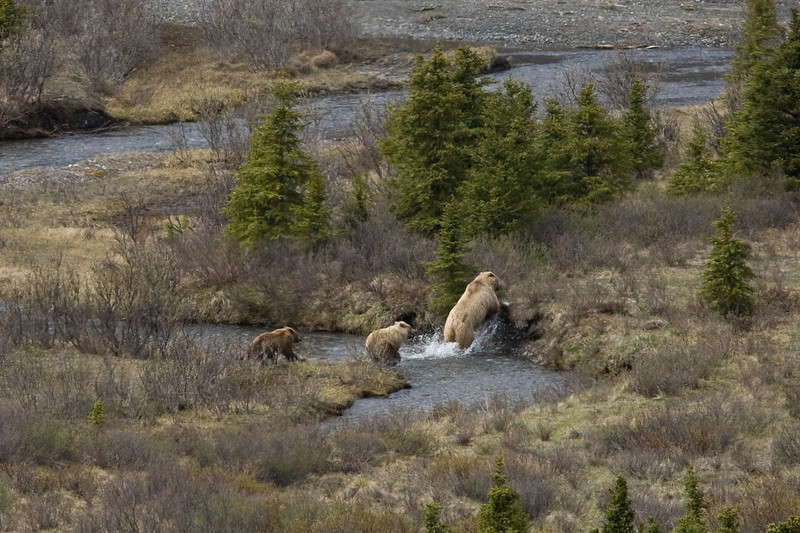 Grizzly bears /cubs Denali National Park    Alaska;