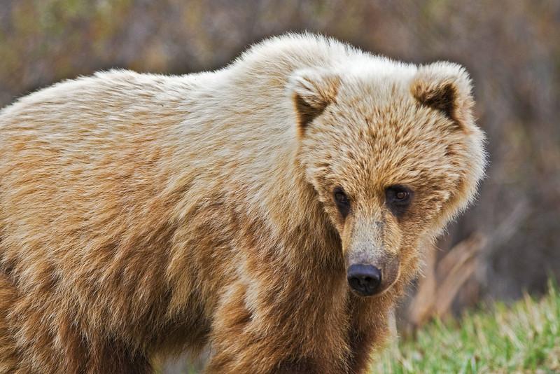 Denali Bear Grizzly bear  Denali National Park    Alaska;